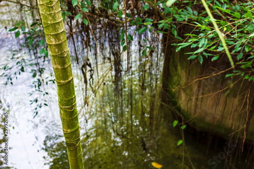 Evergreen bamboo trees grow on the bank of the river.