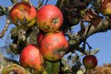 Überreife rote Äpfel am Baum, Malus sylvestris