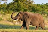 big male elephant in african landscape,Kruger national park