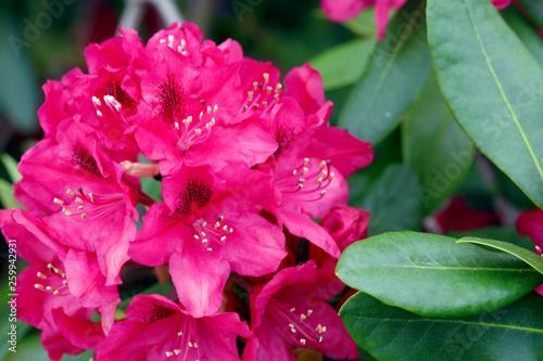 Red Azaleas flowers in the garden.Spring background. - 259942931