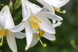 White lilium flowers in summer day,close up; Lilium candidum L.,