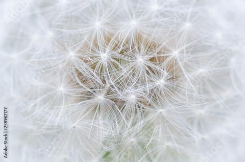 dandelion closeup - 259962177