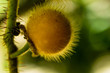 canvas print picture - Gelbe Solanum Ferox, Frucht der Aubergine