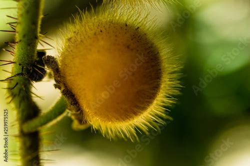 canvas print picture Gelbe Solanum Ferox, Frucht der Aubergine