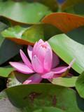 睡蓮のピンクの花