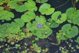 Violet lotus flower