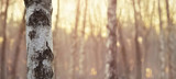 Close view of birch trunk. Nature background.