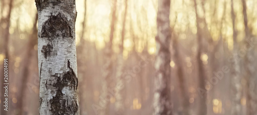 Close view of birch trunk. Nature background. - 260014991