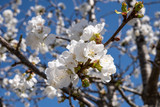 Blooming apple tree in spring time