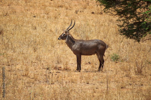 Waterbuck Tsavo West Kenya © Johannes