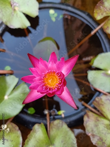Lotus Flowers Bloom In The Pool Near The House6 Buy Photos Ap