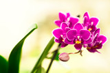Blooming violet mini orchids on a blurred background