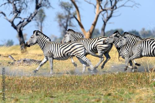 Zebra - 260077356