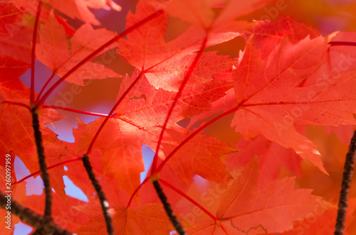 Crimson Maple Leaves Exhibiting the Elegance of Autumn - 260097959