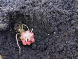 Lilien Zwiebel einpflanzen