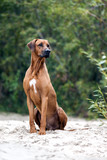 Rhodesian ridgeback dog on the beach