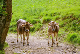 Cows Go to the Pasture