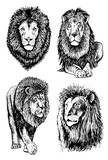 graphical set of lions isolated on white background,vector illustration,tattoo,savannah,african animal,graphic,sketch,lion,white,isolated,vector,wild,animal,tiger,set,illustration,background,cat,colle
