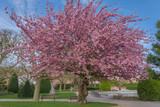 Asnieres, France - 07 05 2019: Cherry tree