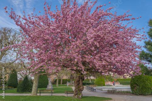 Asnieres, France - 07 05 2019: Cherry tree - 260125984