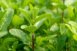 Leinwanddruck Bild - Mint plant grow at vegetable garden