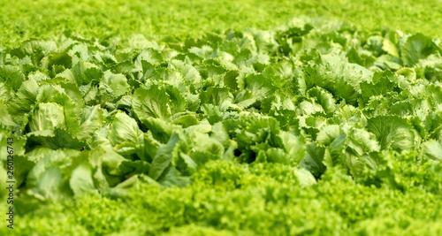 Leinwandbild Motiv Organic hydroponic vegetable cultivation farm