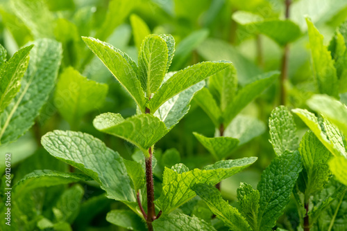 Leinwanddruck Bild Mint plant grow at vegetable garden