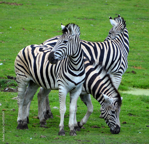 Burchell's zebra is a southern subspecies of the plains zebra. It is named after the British explorer William John Burchell. Common names include bontequagga, Damara zebra and Zululand zebra  - 260138169
