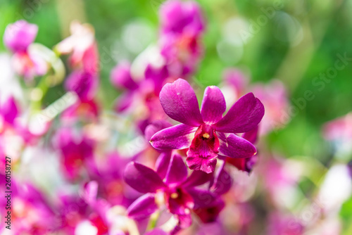 Orchid flower, nature background - 260158727