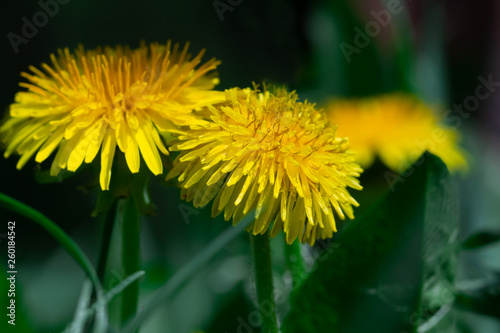 Yellow dandelion on a background of green grass. - 260184542
