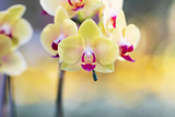Yellow orchid in the gaden