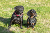 dachshund and labrador french bulldog sitting on the lawn
