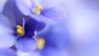 Blue spring violets flowers soft background