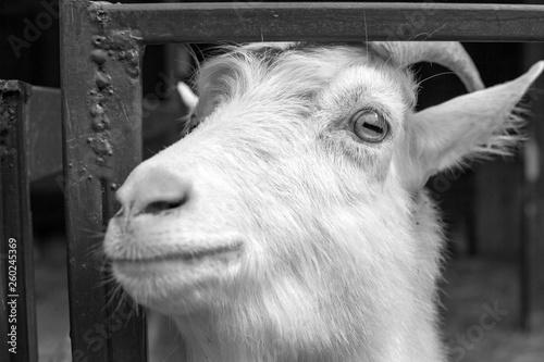 goat © Sofia
