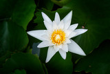 White Waterlily with Green Leaves
