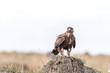 Eagle looking for prey in Maasai Mara