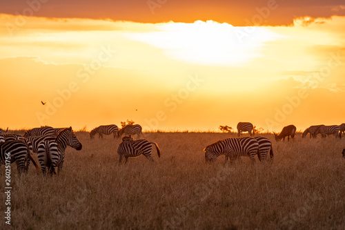Zebras grazing in groups at sunset in Mara triangle during migration season - 260251756