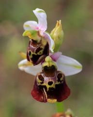 Hummel-Ragwurz(Ophrys holoserica)