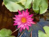Lotus bloom in clean pool