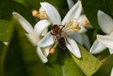 honey bee on orange tree blossom. close up macro flower photo