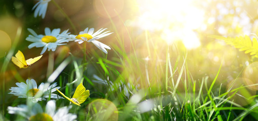 spring or summer nature background with blooming white flowers and fly butterfly against sunrise sunlight
