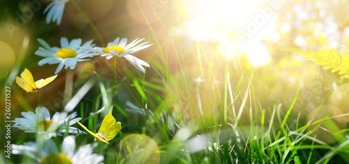 spring or summer nature background with blooming white flowers and fly butterfly against sunrise sunlight © Konstiantyn