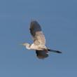 Quadro portrait isolated great white egret (egretta alba), spread wings, blue sky