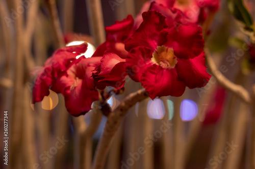 desert rose flower © Mohamed