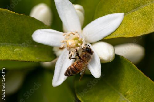 canvas print picture honey bee on orange tree blossom. close up macro flower photo