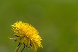 Dandelion and green background