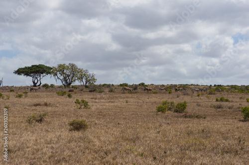 African landscape with herd of wild zebras grazing