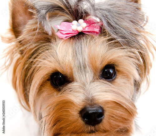 Beautiful funny puppy yorkshire terrier with bow isolated on a white