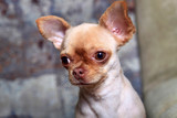 Portrait of a cute chihuahua dog