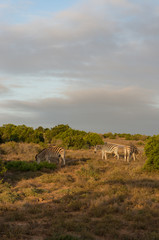 African zebras grazing in the wild in Africa